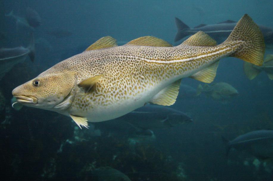 Atlantic-Cod